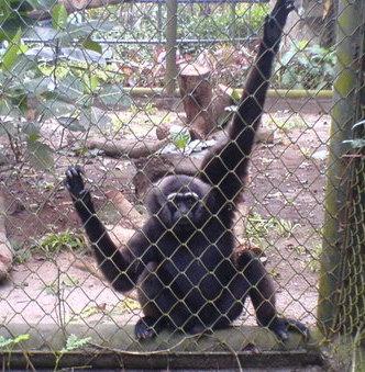 Monyet Manyun