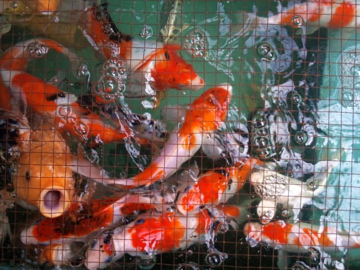 Ikan Koi dalam Kolam