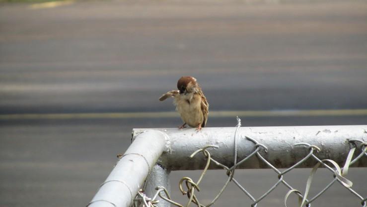 Burung kecil di bandara Sorowako