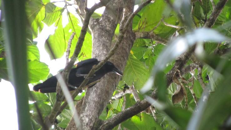 Burung seperti gagak di tepi Danau Matano