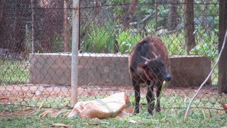 Anoa di Taman Pertambangan