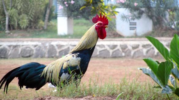 Ayam Jago di Pagi Hari