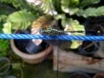 Foto Lalat Naga alias Capung (dari atas)