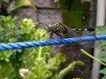 Foto Lalat Naga alias Capung (dari samping)